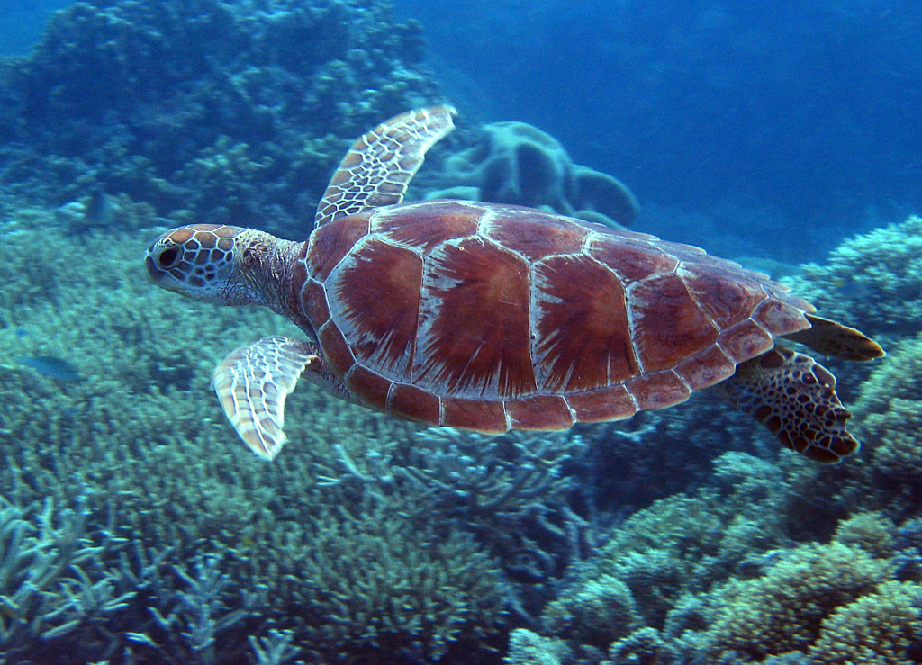 A Holiday In Australia - Green Sea Turtle - Great Barrier Reef